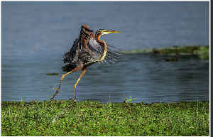 Purple Heron Take Off Poster