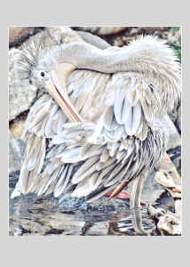 Note Card White Pelican Posing By Concetta Ellis