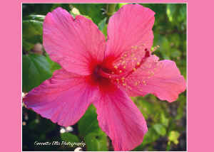 Note Card Hibiscus Pink Flower