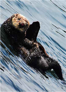 Card Otter Waving Photography By Concetta Ellis