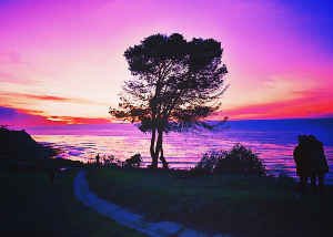 SUNSET PINK ONE TREE
