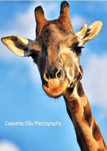 Note Card Giraffe #2 Photography By Concetta Ellis