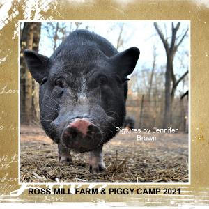Ross Mill Farm & Piggy Camp