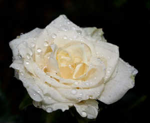 Canvas of a White Rose