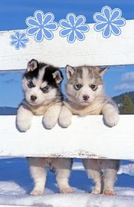 Husky puppies Notebook