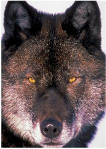 Black Timber Wolf Card