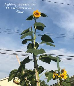 Fighting Sundowners One Sunflower at a Time-CD