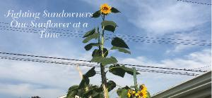 Fighting Sundowners One Sunflower at a Time-Desk