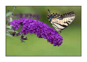 Swallowtail Butterfly Notecard