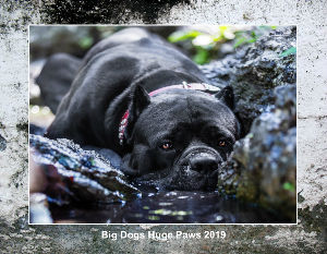 Big Dogs Huge Paws 2019 Calendar