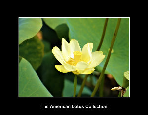 The American Lotus Collection