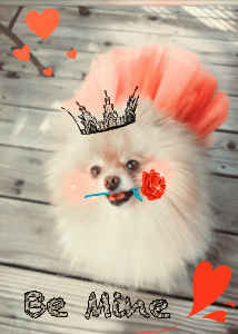 Be Mine- Valentine Pomeranian