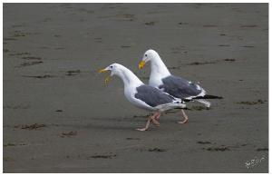 Seagulls Walking