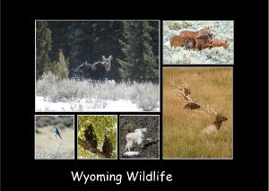 Wyoming Wildlife Photo Card