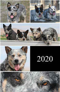 Australian Cattle Dogs 2020 Notebook