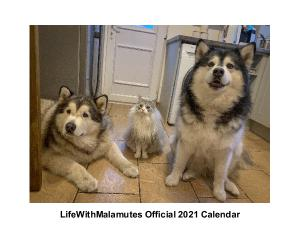 Lifewithmalamutes 2021 Calendar Create Photo Calendars 3 giant alaskan malamutes also known as big teddy bears and a maine coon cat called milo. lifewithmalamutes 2021 calendar