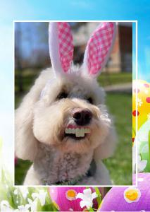 Happy Easter - Goldendoodle