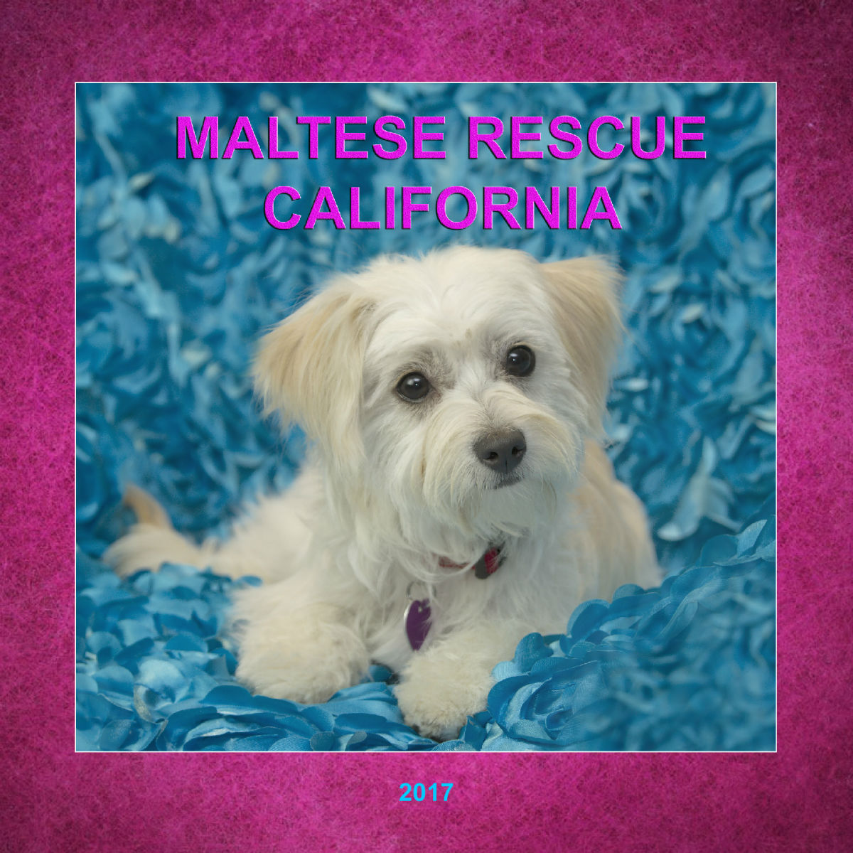 Maltese Rescue California 2017