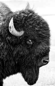 Bison Looking