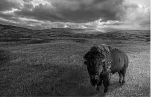 Bison's Domain