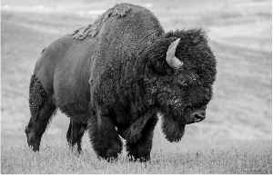 Bison in a Mood