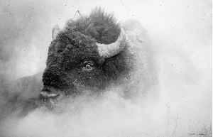 Bison in the Dust