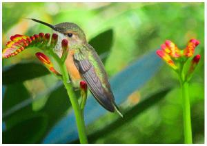 Orange-Rufous Hummingbird
