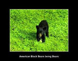 Beautiful American Black Bears and Cubs