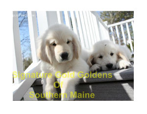Puppies & Dogs @ Signature Gold Goldens