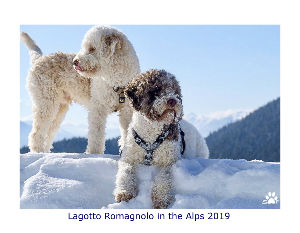 Lagotto Romagnolo in the Alps 2019