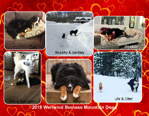 2018 Werlwind Bernese Mountain Dogs