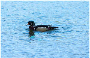 Male Wood Duck on waters of Radnor Lake poster