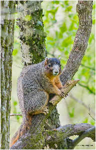 Snacking on wood Fox Squirrel poster