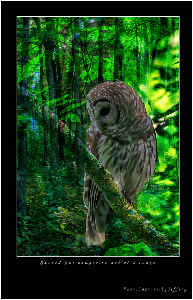 Barred Owl composite artistic image poster