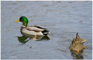Male Mallard Duck with Female Dabbling Poster