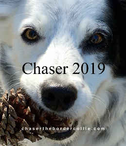 Chaser the Border Collie