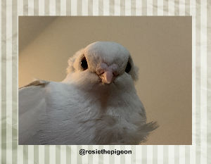 Rosie the pigeon