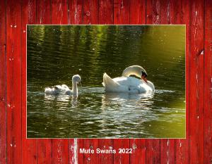 Mute Swans 2020