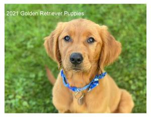 2021 Golden Retriever Puppies  Wall Calendar