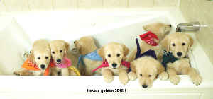 2018 Golden Retriever Puppies desk