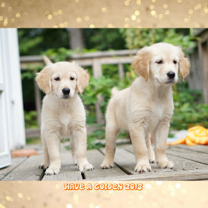 2018 Golden Retriever Puppies