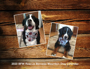 2020 Bernese Mountain Dog Calendar