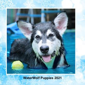 WaterWolf Puppies 2021