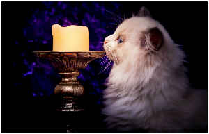 Ragdoll Kitten Poster Candle