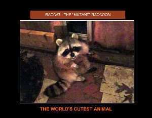 """RACCAT"" - THE WORLD'S CUTEST ANIMAL IS ""MUTANT"" ("