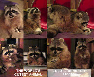 """RACCAT"" - THE WORLD'S CUTEST ANIMAL IS ""MUTANT"""