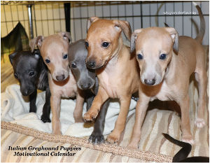 Motivational Italian Greyhound Puppies
